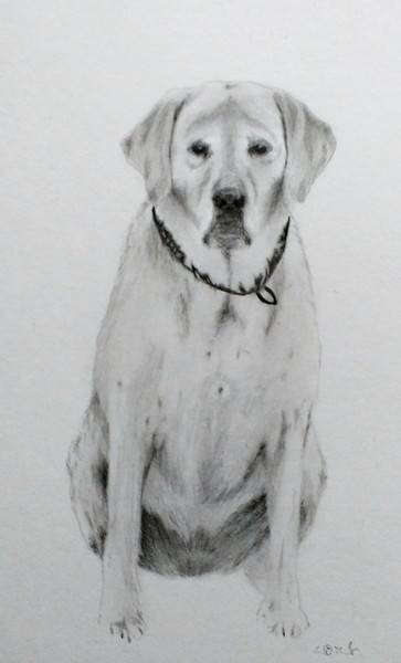 golden retriever pet portrait, Golden Retriever Tierportrait